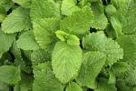Citroenmelisse recepten http://www.mijnreceptenboek.nl/recepten/met/citroenmelisse/