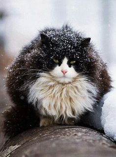 Purring Snow Cat by evgeniy romanov https://500px.com/photo/15991251/purring-snowball-by-evgeniy-romanov?ctx_page=1&from=user&user_id=1610771