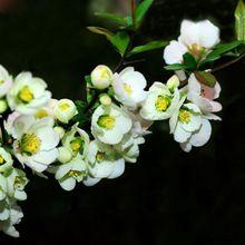 Venta caliente 30 unids blanco Begonia semillas de flor 100% verdad Malus Spectabilis semillas Begonia en maceta Bonsai árboles semillas jardín de DIY(China (Mainland))