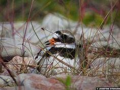 Photo: Pretty plover plops into her nest