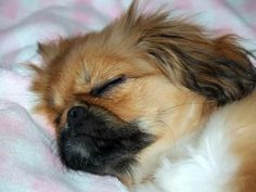 Pekingese owners all have one thing in common - they all experience and understand these funny problems. Yorkies, Pekingese Puppies, Sleeping Puppies, Baby Puppies, Dogs And Puppies, Animals And Pets, Baby Animals, Cute Animals, Really Cute Puppies