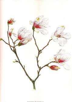 vintage illustration - magnolia