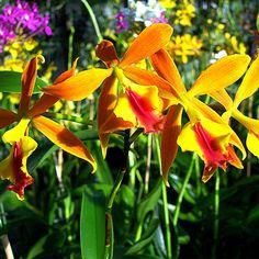 Epidendrum 'Fireball' im Orchideengarten Karge