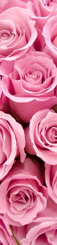 Pink Roses. #pink #roses