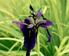 Iris chrysographes. short flowering season. moist, well-drained soil in sun or light shade. flowers early summer. h 50cm.