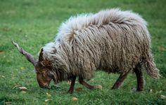 Coraz częściej możliwe jest je spotkać także w domostwach agroturystycznych. Dla turystów wypas owiec jest ponadprzeciętną atrakcją. Szczególnie dla rodziców z nieletnimi. Owce posiadają przyjazny charakter i dobrze oddziaływują na człowieka. Przebywanie z tymi zwierzętami poleca się szczególnie osobom niepełnosprawnym, cierpiącym czy samotnym. Kontakt z nimi pomaga zmniejszać stres, dostarcza nowych doznań i polepsza komfort psychiczny.