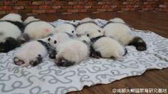 Look at these cute panda buttocks Baby Pandas, Baby Animals, Cute Panda, Panda Bear, Animals Beautiful, Bears, Happiness, Babies, Animales
