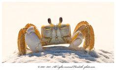 Ghost crab by Elizabeth.  E., via 500px