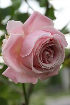Hybrid Tea Rose: Rosa Frederic Mistral (France, before All Flowers, Amazing Flowers, Beautiful Roses, My Flower, Beautiful Gardens, Beautiful Flowers, Send Flowers, Flowers Garden, Parfum Rose