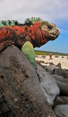 """Marine Iguana, Espanola Island, Galapagos We studied this for our school play """"the Incredible Journey"""" These are the only species that have evolved to breath under water. Beautiful Creatures, Animals Beautiful, Geckos, Marine Iguana, Equador, Galapagos Islands, Reptiles And Amphibians, Lizards, Chameleons"""