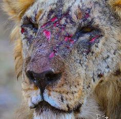 """This """"Loonkito"""", the oldest living male in Amboseli, Kenya has fought tooth and nail for a decade to keep his territory intact - Funny & SGH Wildlife Nature, Nature Animals, Animals And Pets, Wild Animals, Canis Lupus, Badass Pictures, Lion Pictures, Male Lion, Nature Images"""