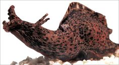hubby's favorite animal - the magnificent sea hare.