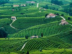 Prosecco Road is the scenic region where Italy's sparking white wine is made Sauvignon Blanc, Cabernet Sauvignon, Chenin Blanc, Pinot Noir, The Places Youll Go, Places To See, Aviano Italy, Wine Tourism, Wine Vineyards