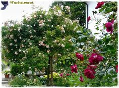 Rose 'Ghislaine de Feligonde'