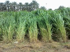 Guinea grass growing in unfertile soils can reach a ver high Nitrogen Use Efficiency. If fertilized properly, the crop can reach yields higher than 40 dried ton / hectare each year.