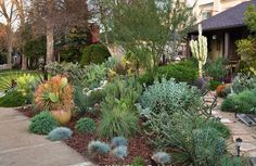 Drought tolerant plants in a small front yard.