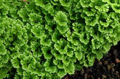 1000 images about ferns on pinterest tree fern for Non toxic ferns