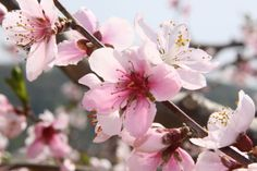 peach blossoms in China