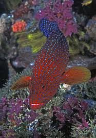 Coral trout, leopard coral grouper, or leopard coral trout, is native to the western Pacific Ocean Papua New Guinea coral reefs Underwater Creatures, Ocean Creatures, Beautiful Sea Creatures, Animals Beautiful, Colorful Fish, Tropical Fish, Poisson Mandarin, Fauna Marina, Life Under The Sea