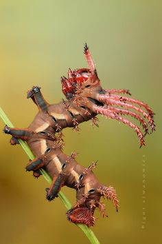 Hickory Horned Devil caterpillar - what if God was keeping certain animals / bugs / insects small until the apocalypse. Cool Insects, Bugs And Insects, Reptiles, Lizards, Cool Bugs, Scary Bugs, Moth Caterpillar, Fotografia Macro, A Bug's Life