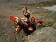 """Pollicipes sp. """"Goose Neck Barnacle"""""""
