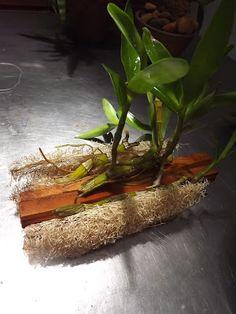 PLANTANDO DENDROBIUM  Inicie sua coleção, plantando e cuidando de dendrobius, conseguindo cuidar por 1 ano dele mantendo com vida e tendo...