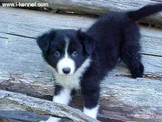 Boarder collie puppy