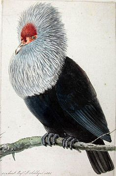 The Mauritius Blue Pigeon (Alectroenas nitidissimus) is an extinct species of blue pigeon formerly endemic to the Mascarene island of Mauritius in the Indian Ocean east of Madagascar.