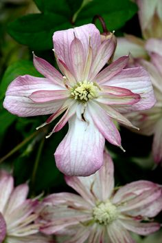 Clematis-if you know the variety of this one, please tell me so I can purchase it! :)