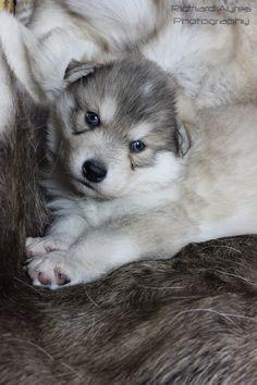 Odin. by Richard Ayres. #wolfdog #puppy #wolfalike