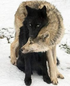 Wolf Photos, Wolf Pictures, Animal Pictures, Cute Funny Animals, Cute Baby Animals, Nature Animals, Animals And Pets, Wildlife Nature, Beautiful Creatures