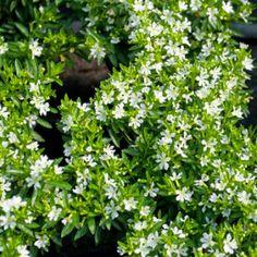 Falsa-érica ou cuféia. Nome científico: Cuphea gracilis. Família: Lythraceae