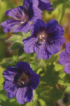 "Geranium ""Blue Blood"""