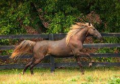 rocky mountain horse by venome