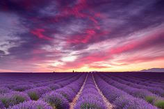 This photo was taken near sunrise in a lavender field near Valensole, the heart of lavender country in the region of Provence. The sun lit remains of cloud storms just before cresting the horizon, momentarily painting the sky in hues of pink, purple, and yellow.