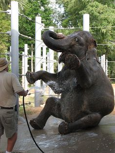 A very happy Asian elephant and her bath.