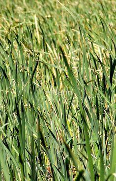 Tall Beautiful Grass