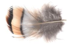 Partridge Feather
