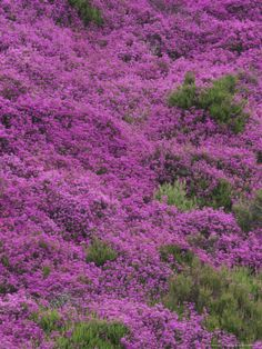 Bell Heather in Flower on Moorland, July, UK Photographic Print