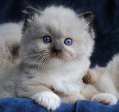 (^^) Sweet Little RagDoll kitten. A bit puzzled by the camera.