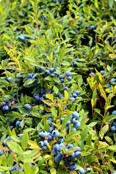 (Wild) Blueberry Fields Forever #healthy #food