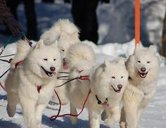 The Dogs Of Iditarod