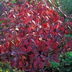 Cornus alba Kesselringii - Black Stemmed Dogwood in Autumn