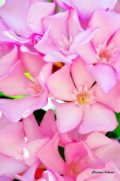 A beautiful close up of pink Oleander flowers in California.Photographed by Christina Ochsner Nerium, Evergreen Shrubs, Small Trees, Garden Plants, Planting Flowers, Fine Art America, Lilac, Flower Ideas, Flower Art