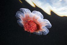 Cyanea capillata.jpg | Flickr - Photo Sharing!