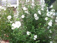 White Hibiscus Dianna  2- 5 gallon