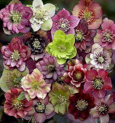 Hellebore flowers. - Pixdaus