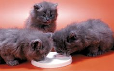 Did you know cats are lactose-intolerant? ... PetsLady.com