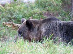 Braunbär, Bärenbeobachtung in Alutaguse, Estland