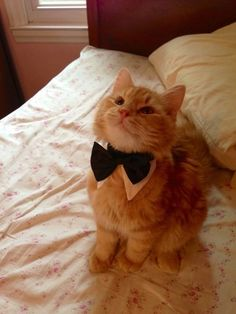 One of the world's most dapper cats on his way to a formal event. | 50 Animal Pictures You Need To See Before You Die
